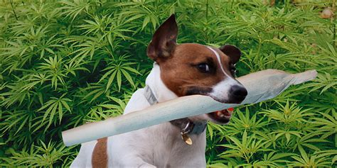 10 Easy Steps To Teach Your Dog To Find Lost Weed   Herb