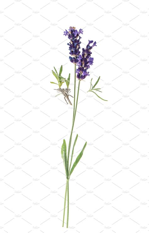 Lavender flowers twig over white ~ Nature Photos
